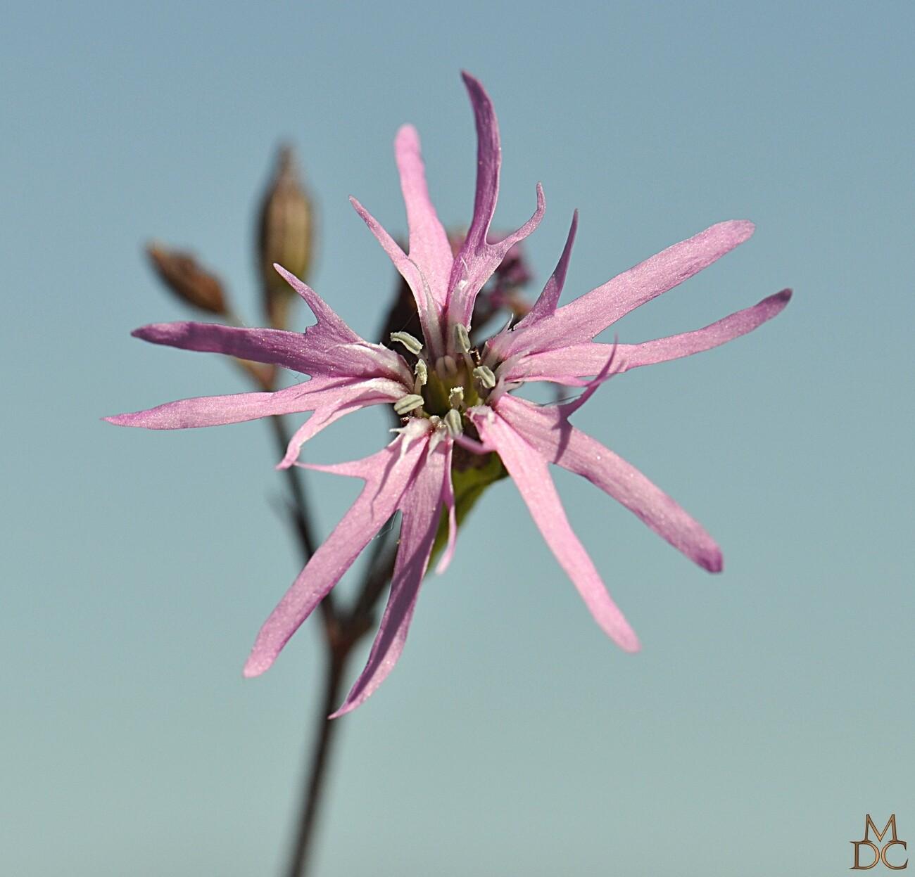 SILENE fleur de coucou