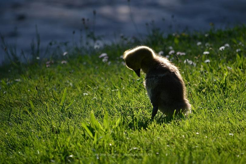 Rambouillet : La petite Bernache rescapée ...