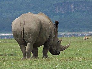 Bêtes à cornes - Rhinocéros - kenya-nakuru-rhinoceros-big