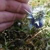 Mini Panicaut de Bourgat, ou Chardon bleu des Pyrénées (Eryngium bourgatii)