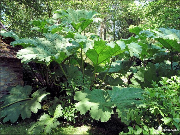 Photo Rhubarbe Géante (flore-plante)
