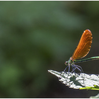 Colopteryx vierge/virgo
