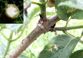 Sambucus nigra  -  sureau noir