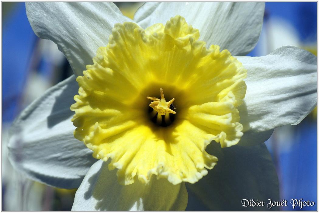 Narcisse / Narcissus