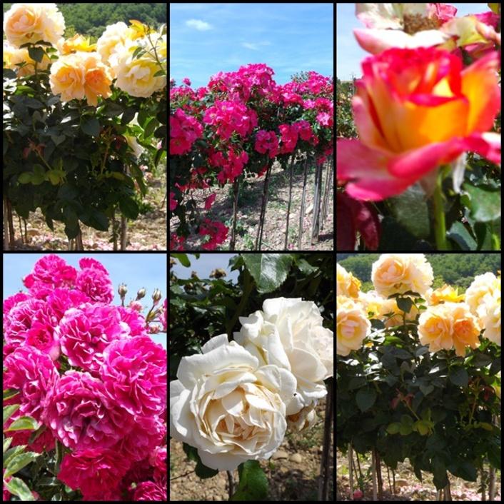 La réussite de la rose