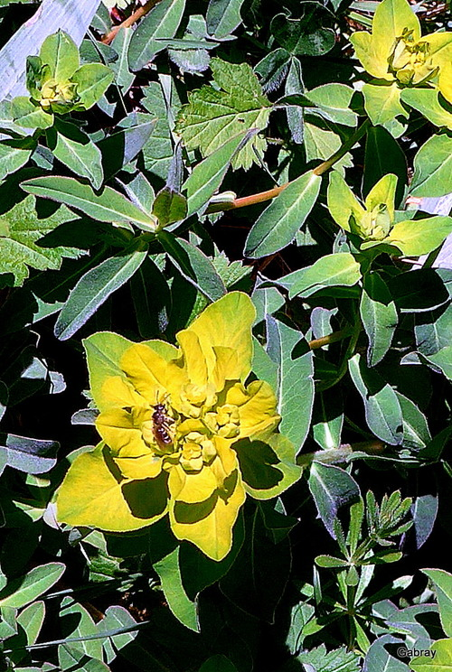 Des euphorbes dans mon jardin
