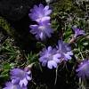 Primevère à feuilles entières (Primula integrifolia)