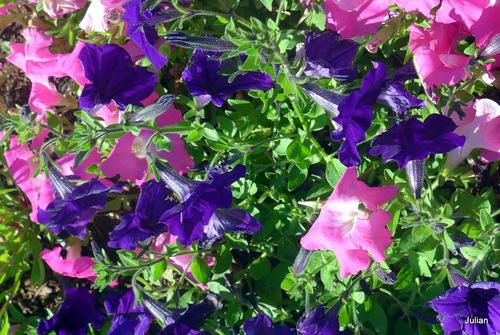 Les fleurs des pétunias