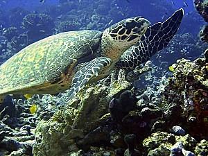 polynesie-tortue