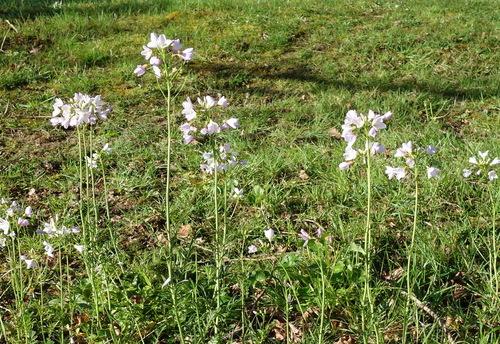 Naissance d'une Aurore (Anthocharis Cardamines)