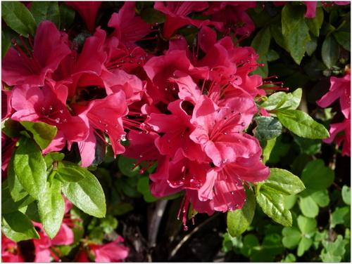 La vie en rose- fleurs