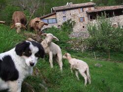 Les agneaux et Joune
