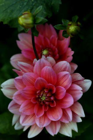 Dahlias : Margaret Kleene