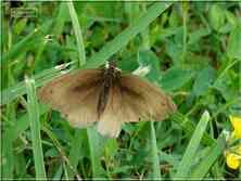 Le Myrtil Maniola jurtina mâle Nymphalidae Gers Midi-Pyrénées