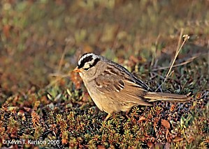 White-crowned+Sparrow +Gambel s+ssp +Churchill +Canada +Jun