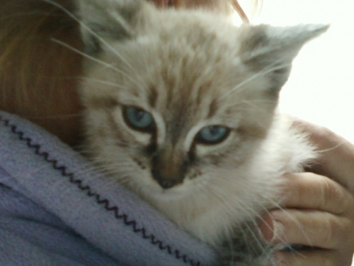 Chaton type Birman