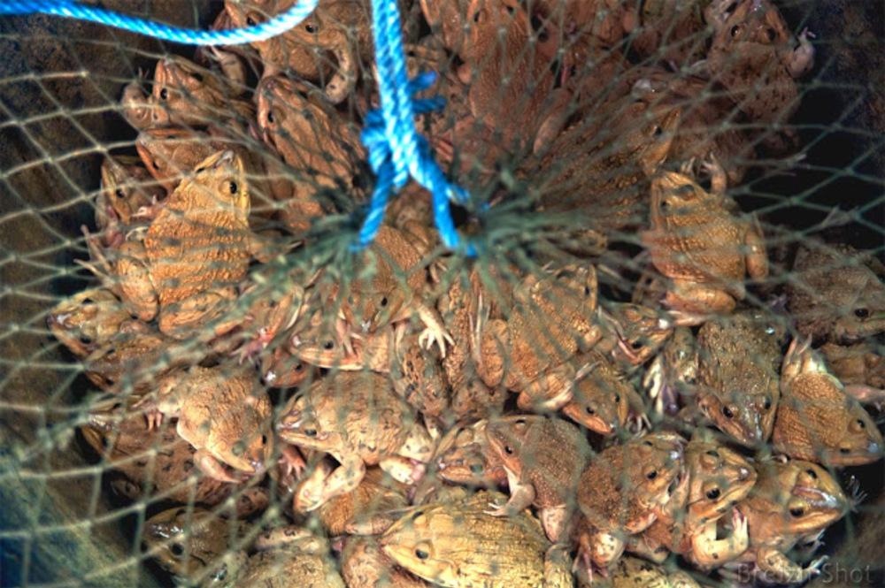 Grenouilles dans un filet - bangkok