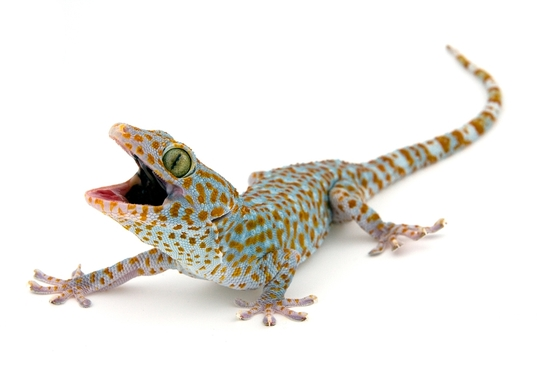 weird-and-wild-gecko-sticky-feet-2-s100x75