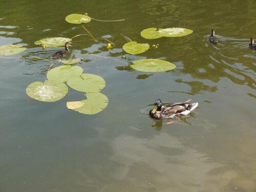 Les canards nagent au milieu des nénuphars