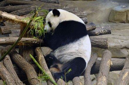 « Pandas Géants »