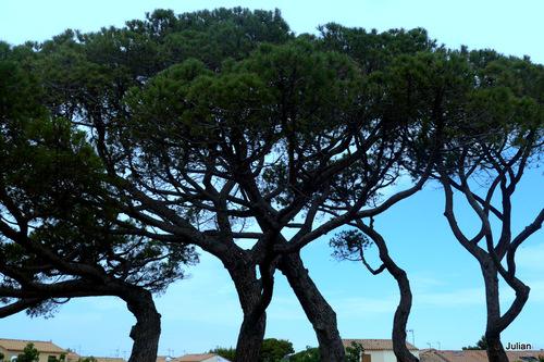 Les branches des pins et le ciel