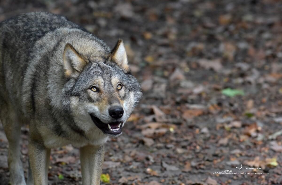 373 - Loup gris