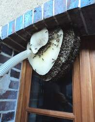 Sauvetage d'une colonie d'abeilles