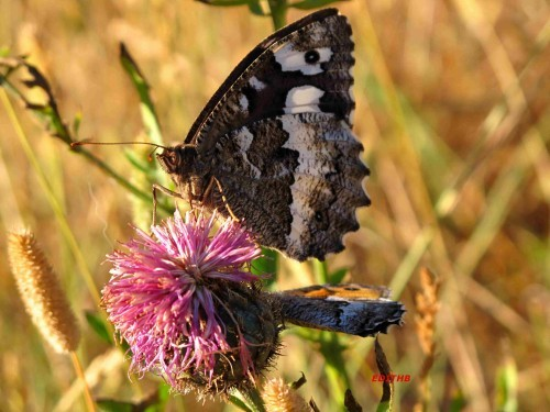 PAPILLON SILENE + AGRESTE (2)