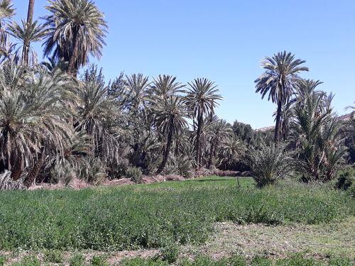 Belle palmeraie et beaux champs de céréales