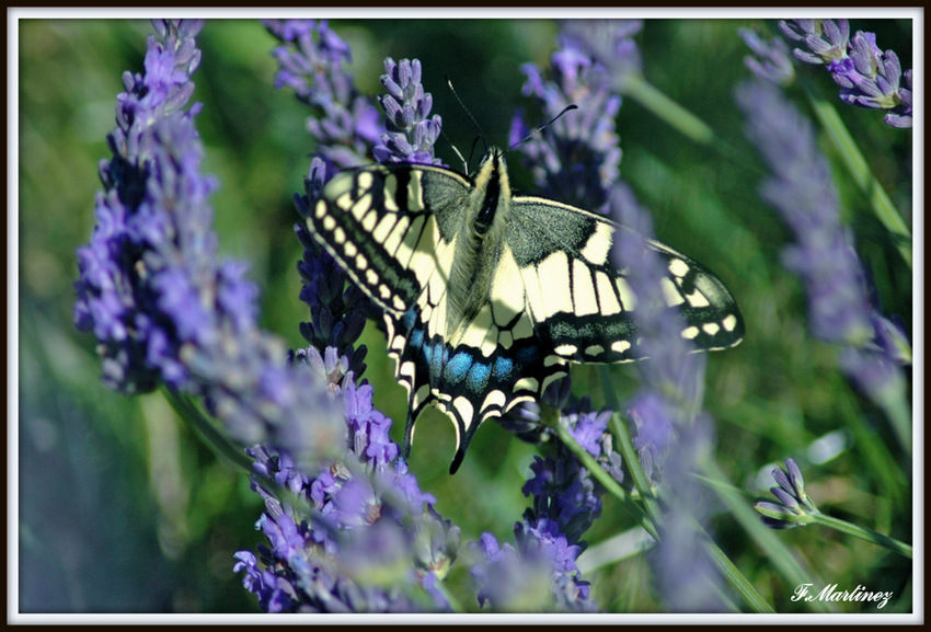Papilio machaon (Le grand porte-queue)