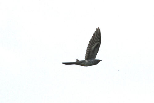 Coucou Gris (Common cuckoo)
