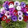 anémone des fleuristes