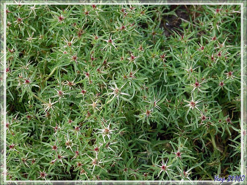 Centaurée Chausse-trape, Centaurée étoilée, Chardon étoilé (Centaurea calcitrapa) - Ars-en-Ré - Ile de Ré - 17
