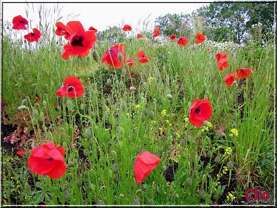 COQUELICOTS - 2 - RED