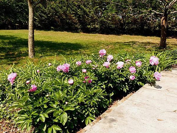 Pivoine rose massif