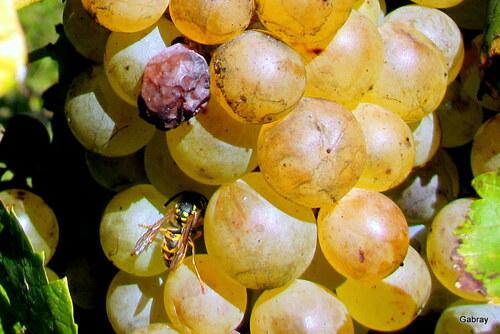 Les raisins de la treille