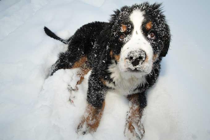 Races de chiens:  Bouvier bernois