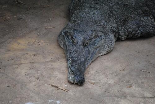 (2) Le crocodile à museau allongé d'Afrique.