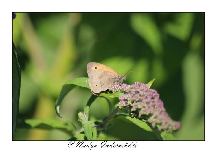 MYRTIL (Maniola jurtina) papillon