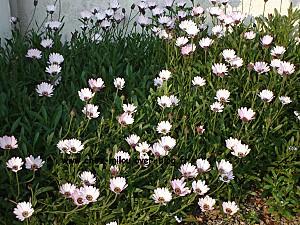 fleurs blanches02
