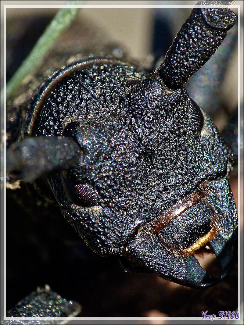 Longicorne Morime rugueux (Morimus asper) - Lartigau - Milhas - 31
