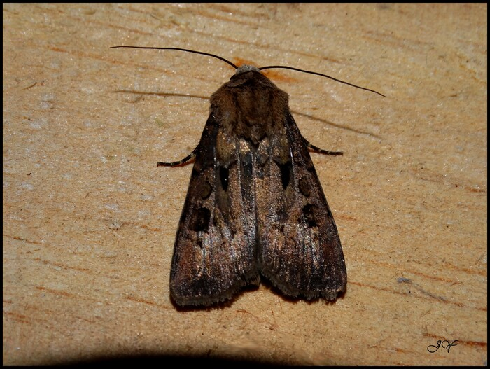 Agrotis exclamationis.
