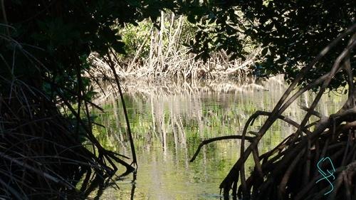 Mangrove Anse Moustique