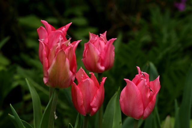 Tulipes 2016 : Pretty Love