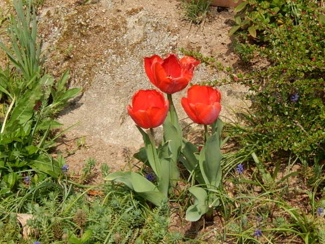 Avril , cette fleur venue d'Asie , la tulipe à l'honneur dans nos jardins.