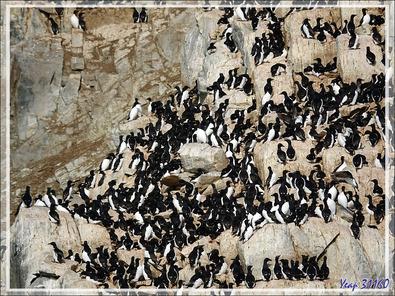 Les falaises de Cambridge Point avec ses dizaines de milliers d'oiseaux, surtout des Guillemots de Brünnich - Coburg Island - Baffin Bay - Nunavut - Canada