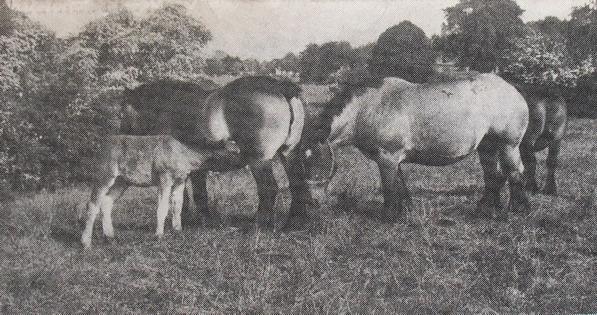 Une famille de chevaux de trait ardennais.