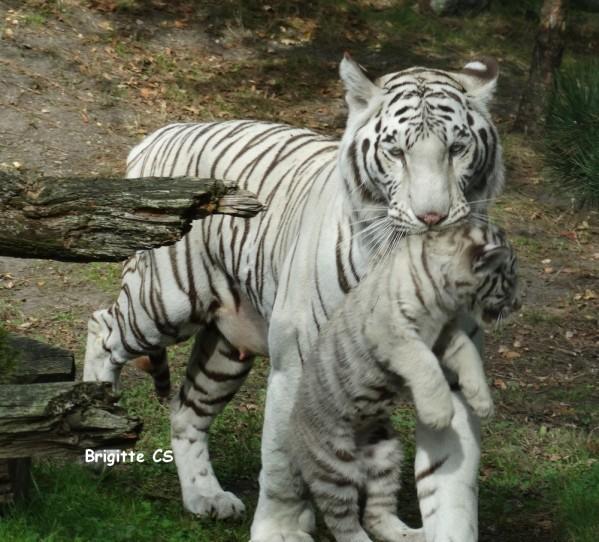 Une amitié entre tigre et bouc qui se dégrade...