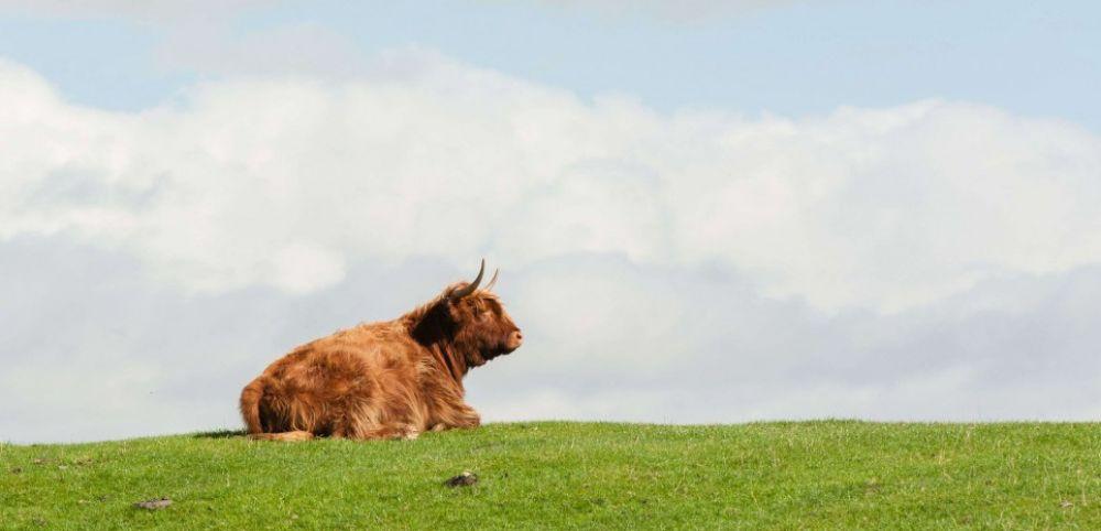Manger des steaks, et lâcher la grappe aux vaches ?