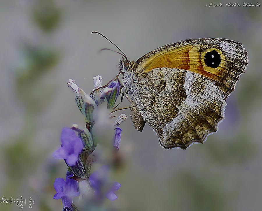 Le Myrtil (Maniola jurtina) - Nymphalidae